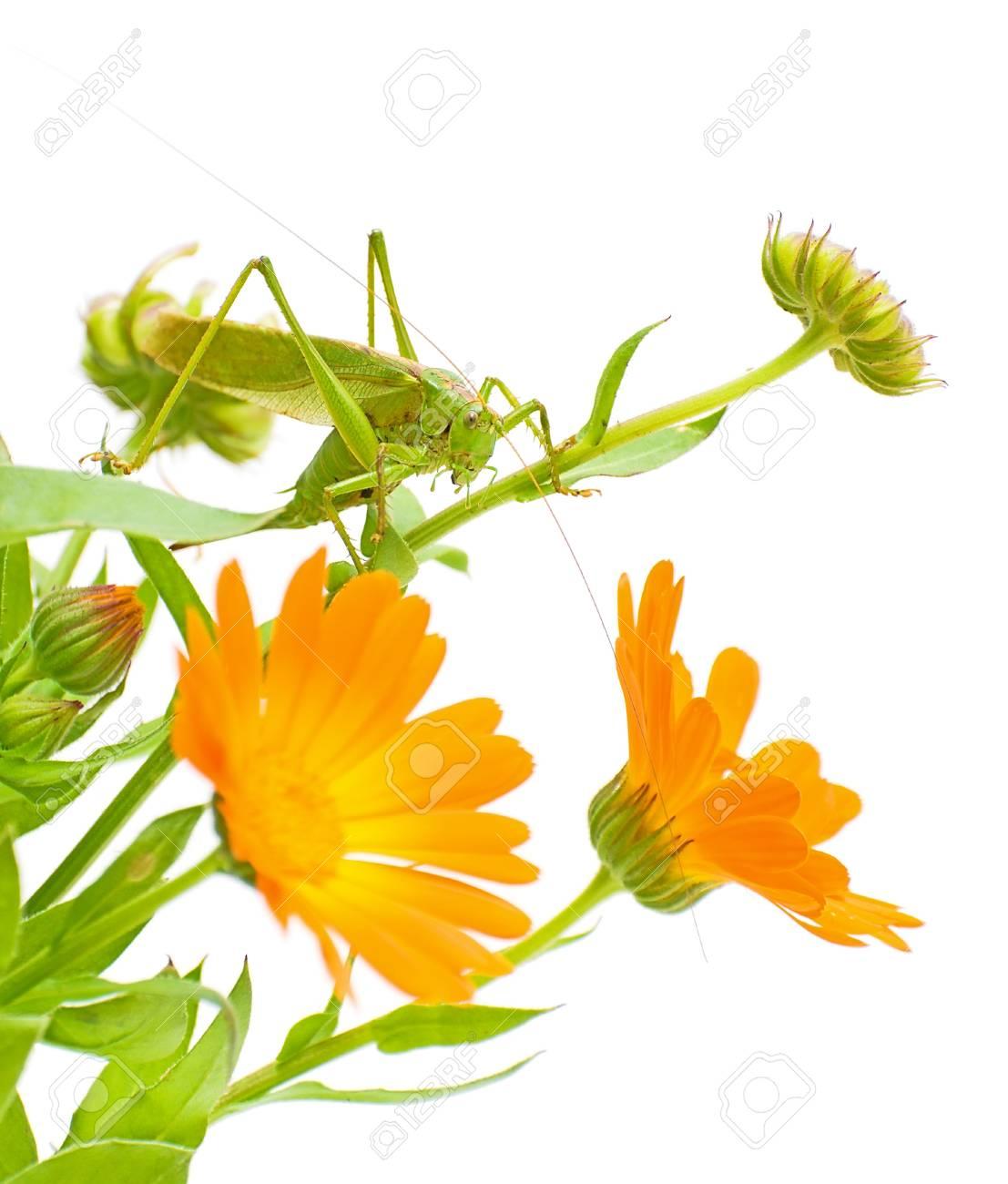 green grasshopper sitting on a flower calendula Stock Photo - 10732105
