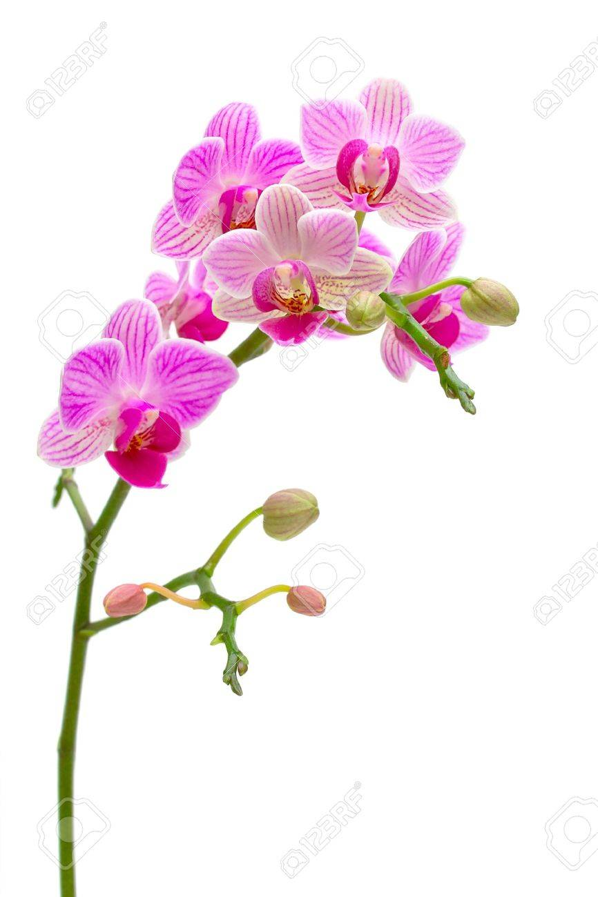 beautiful orchids blooming branch on a white background Stock Photo - 11888333