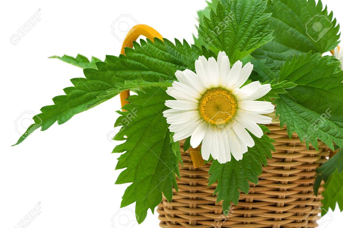 Daisy Flower And Nettle Leaves Close Up On White Stock Photo