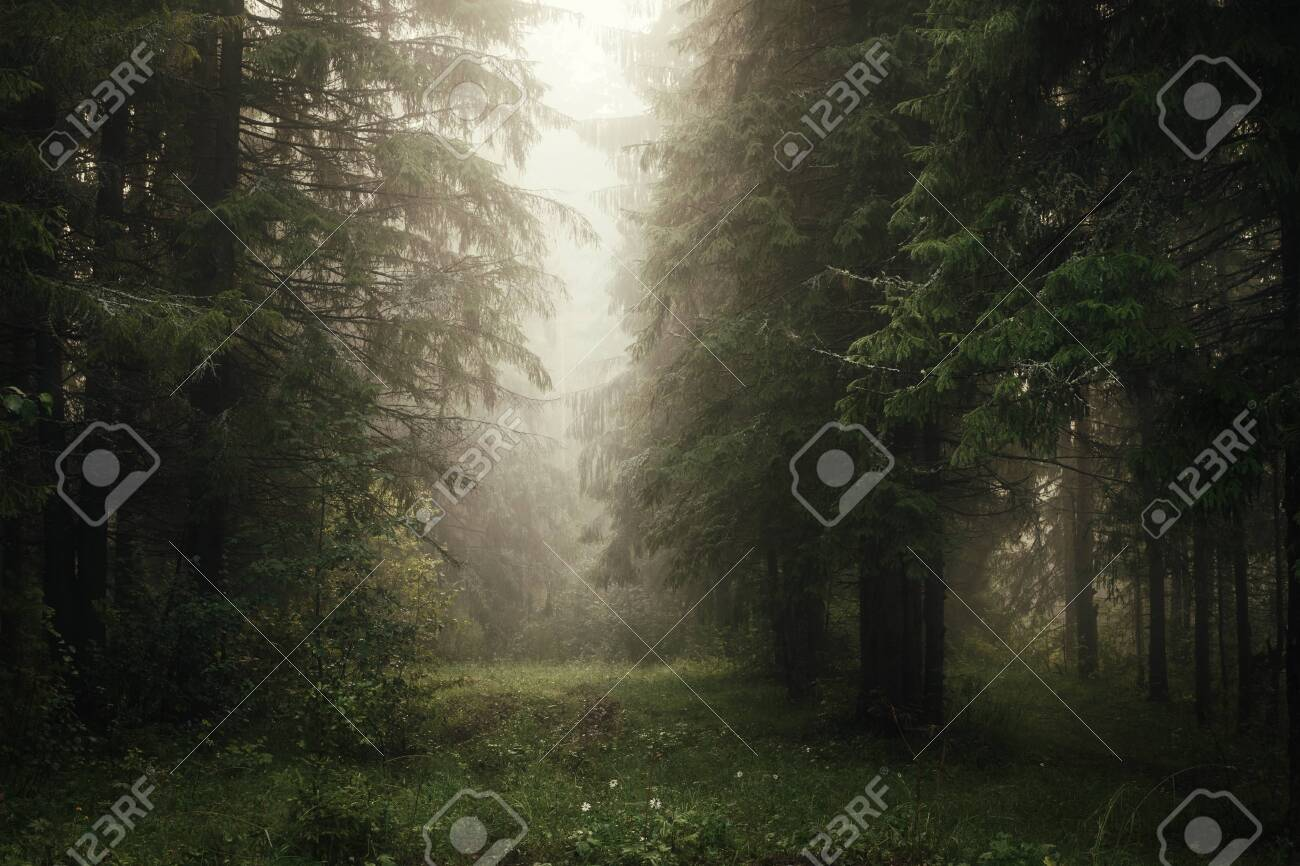 misty morning in the coniferous forest - 128777297
