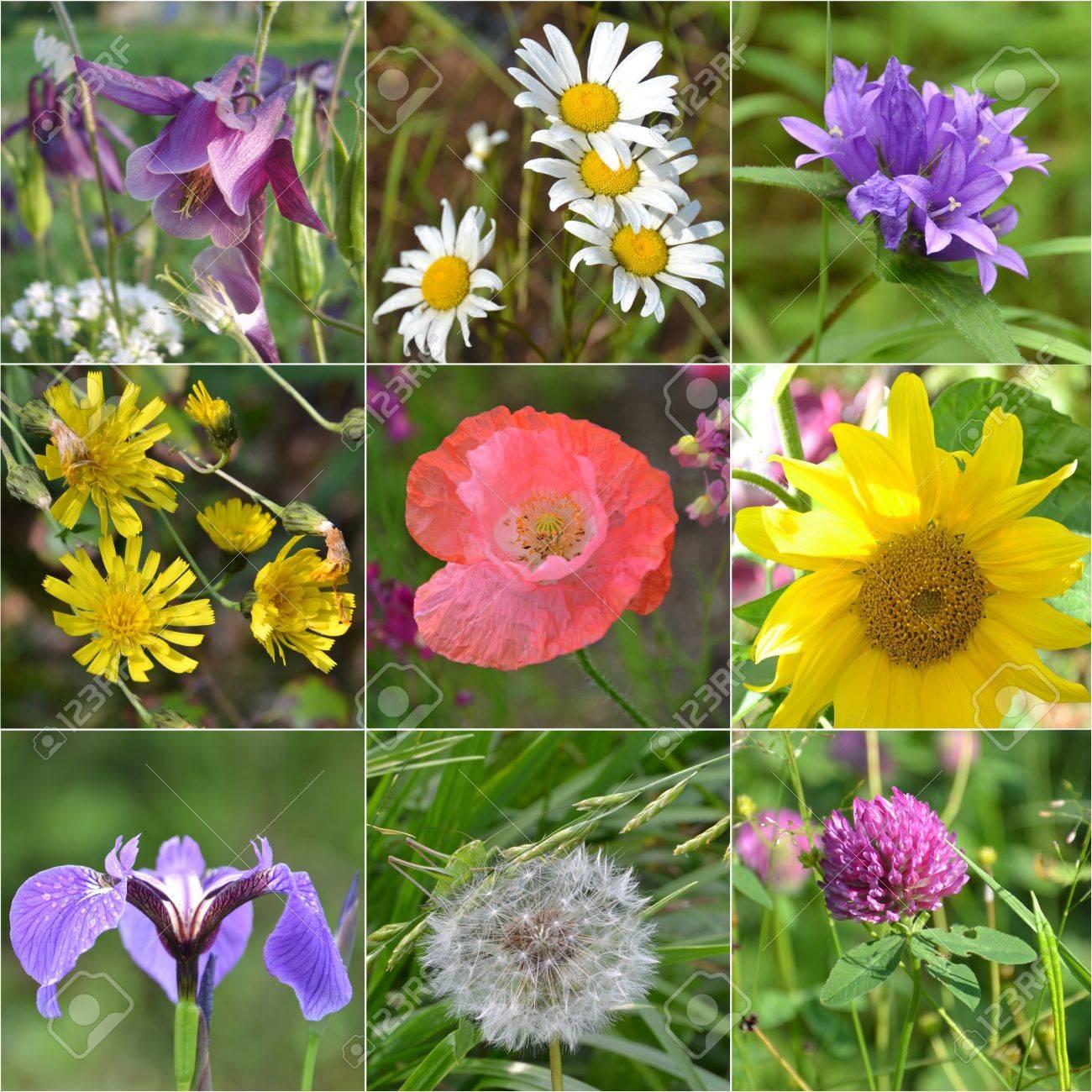 Collage full of wild flowers. sunflower, dandelion, iris, clover, camomile, Aquilegia , poppy, hand bell Stock Photo - 15192276