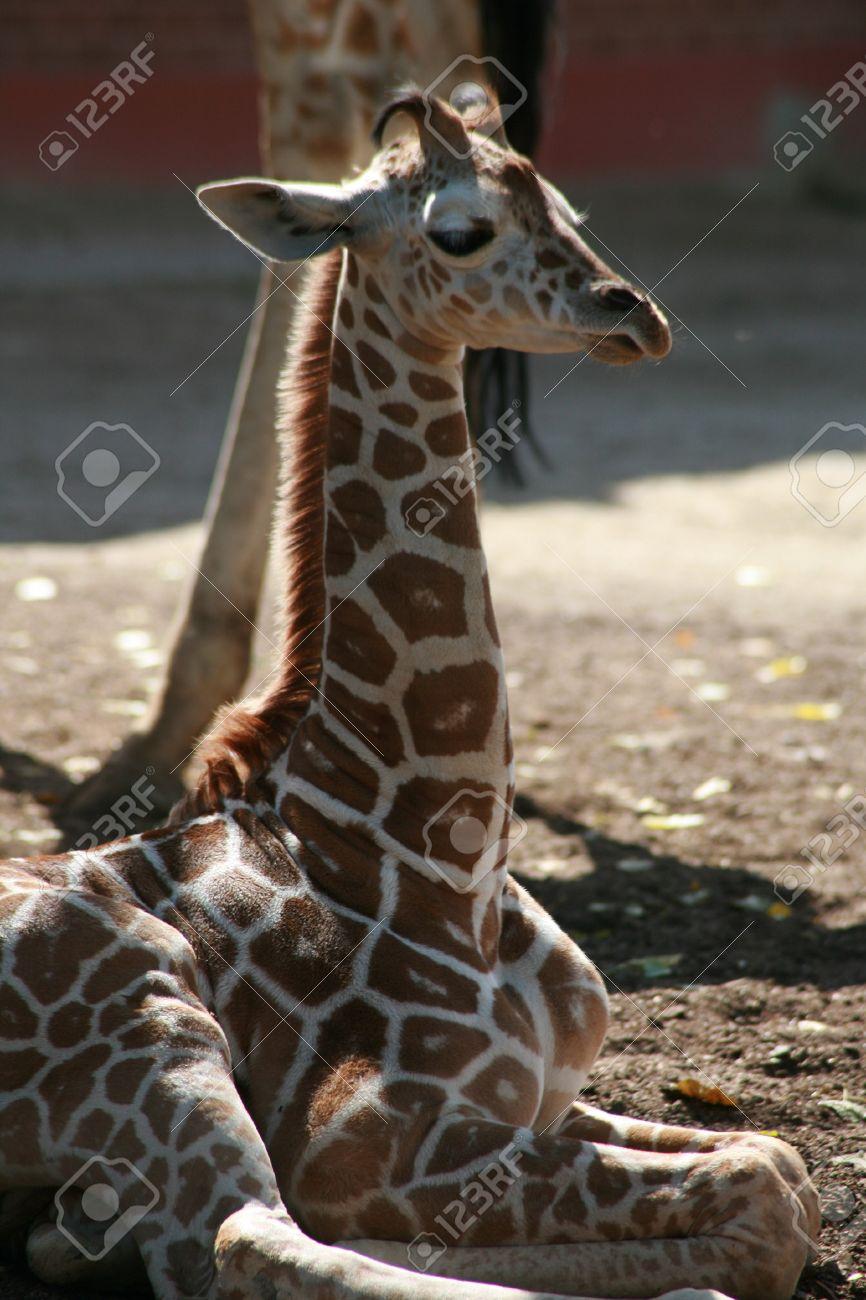 Splinternye Young Baby Giraffe Laying Down Resting A While Stock Photo BO-39