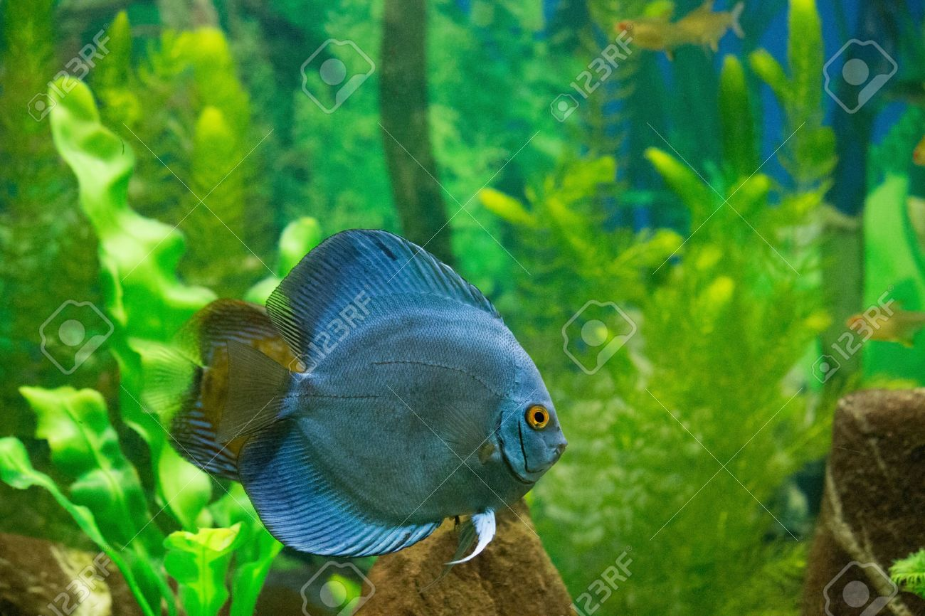 Freshwater aquarium fish piranha - Stock Photo Piranha River Fish In Home Aquarium