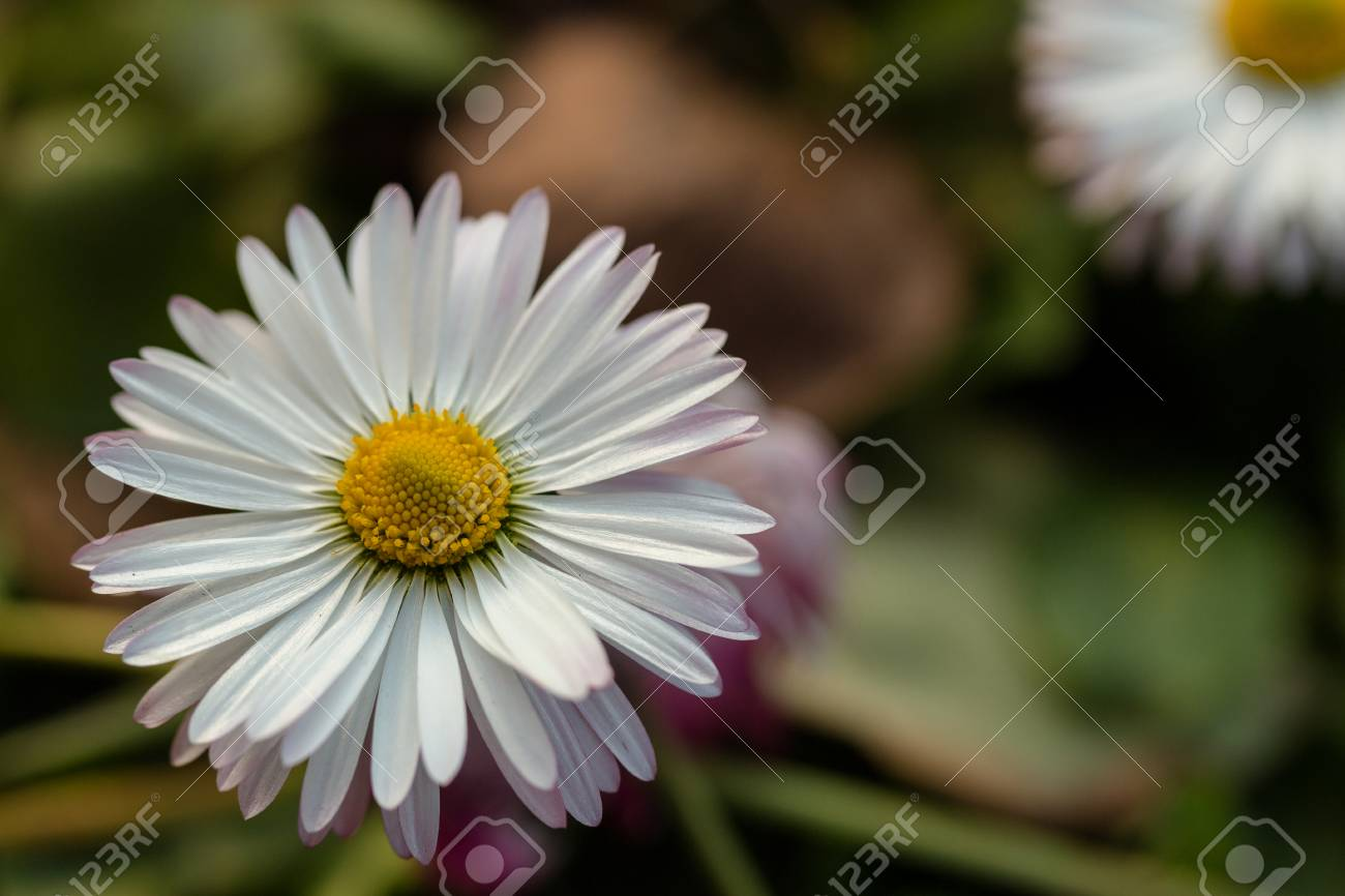 Daisy Flower With White Petals On A Green Background Stock Photo