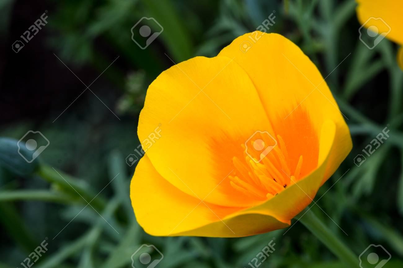 Flowers Eschscholzia Latin Eschscholzia Or California Poppy
