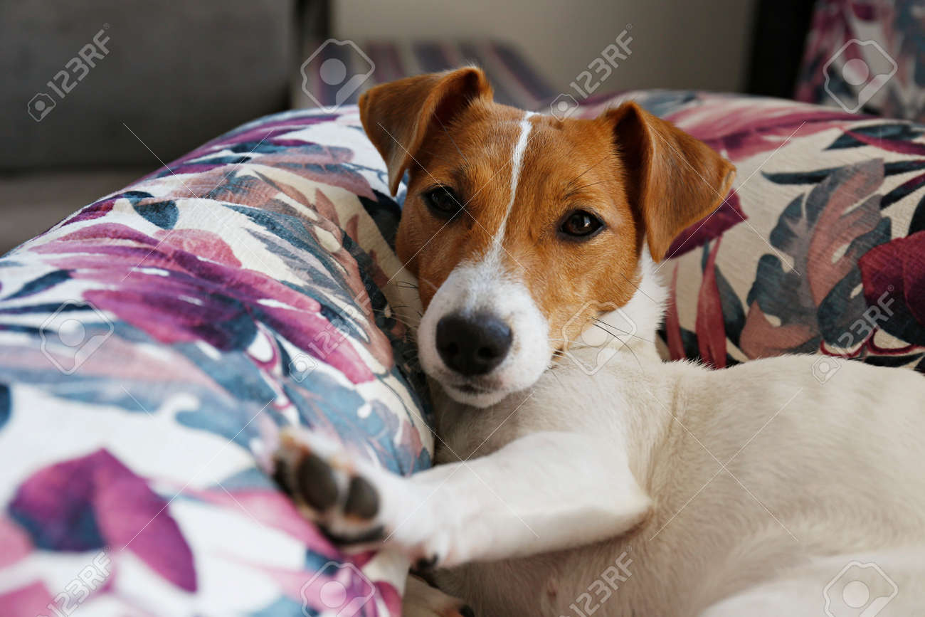 Cute one year old Jack Russel terrier puppy with folded ears chilling on bunch of cushions with colorful exotic palm tree leaf print. Adorable small breed dog. Close up, copy space, background. - 154157598