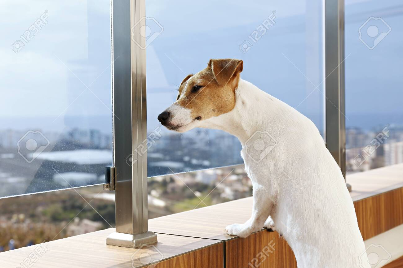 Jack Russell terrier is waiting for owner, looking at a huge window. Small adorable dog with funny fur stains sitting in anticipation of walk. Close up, copy space, background. - 154157604