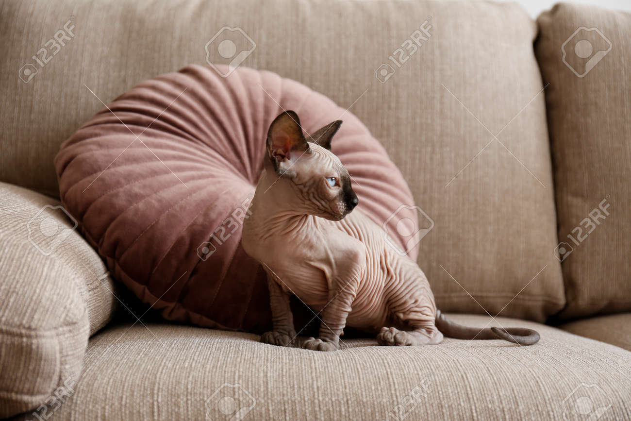 Two month old Canadian sphynx cat sitting on a couch. Beautiful purebred hairless kitten with yellow eyes. Natural light. Close up, copy space, background. - 158608554