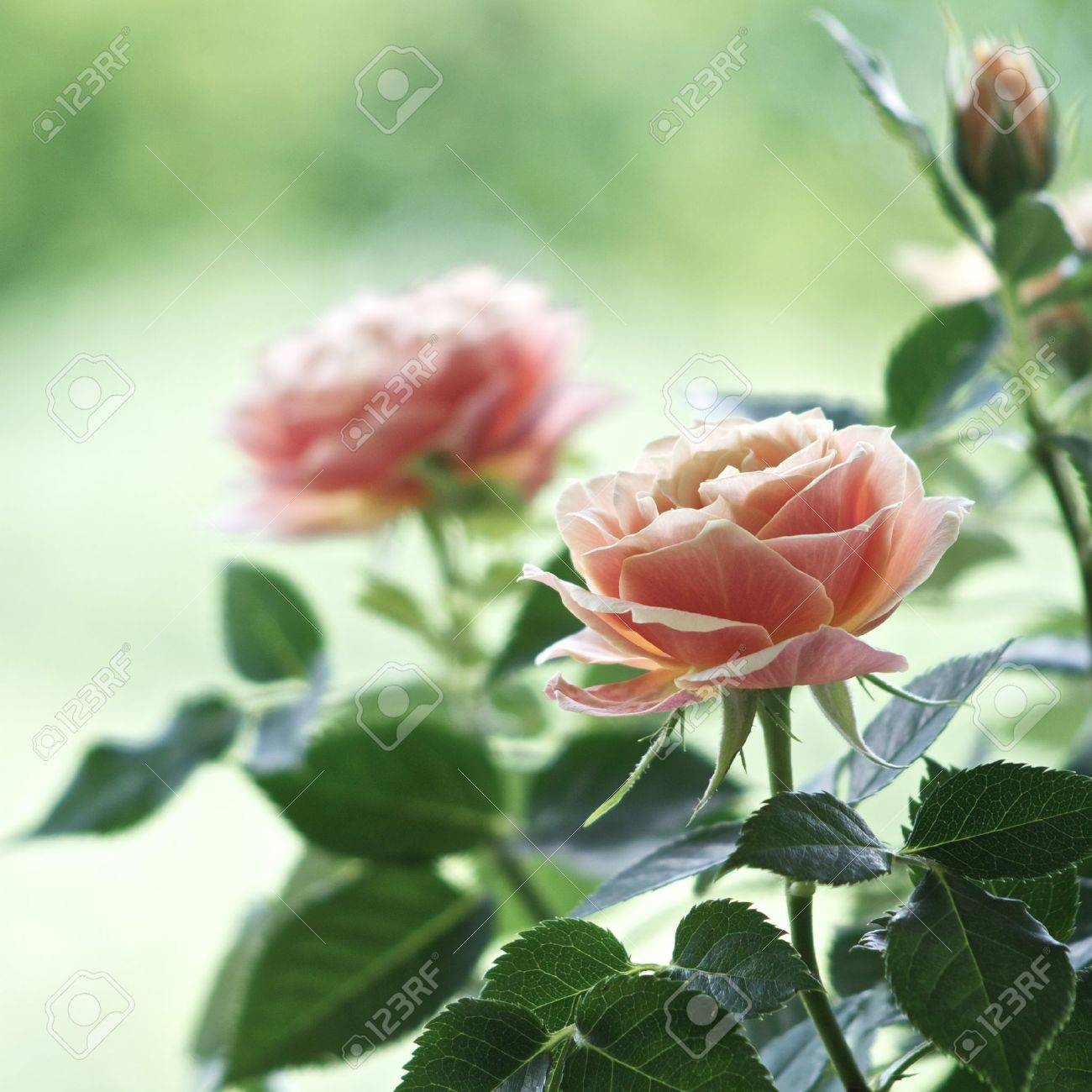 Roses on a bush in a garden. Shallow DOF Stock Photo - 8999948