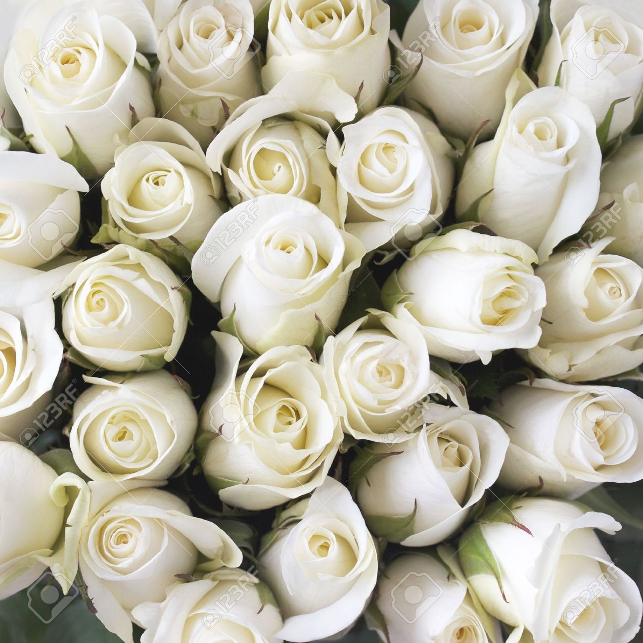 White Roses As A Background Stock Photo Picture And Royalty Free