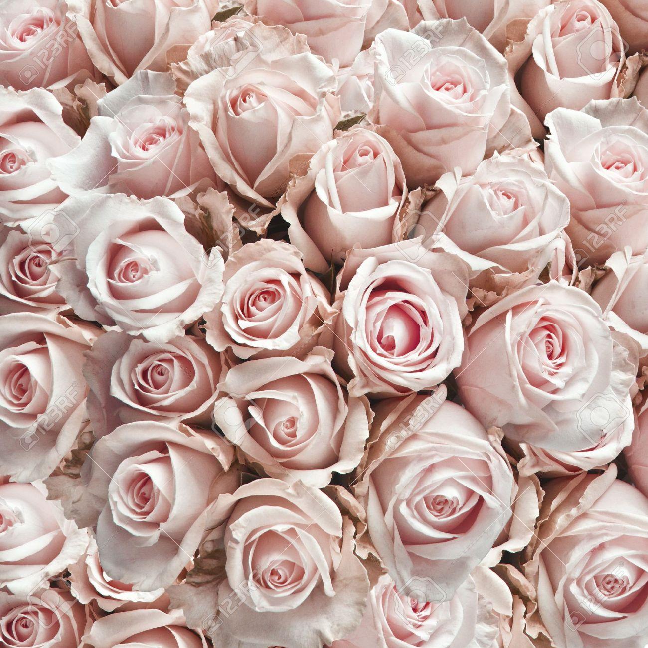 rose roses anciennes comme un fond carré banque d'images et photos