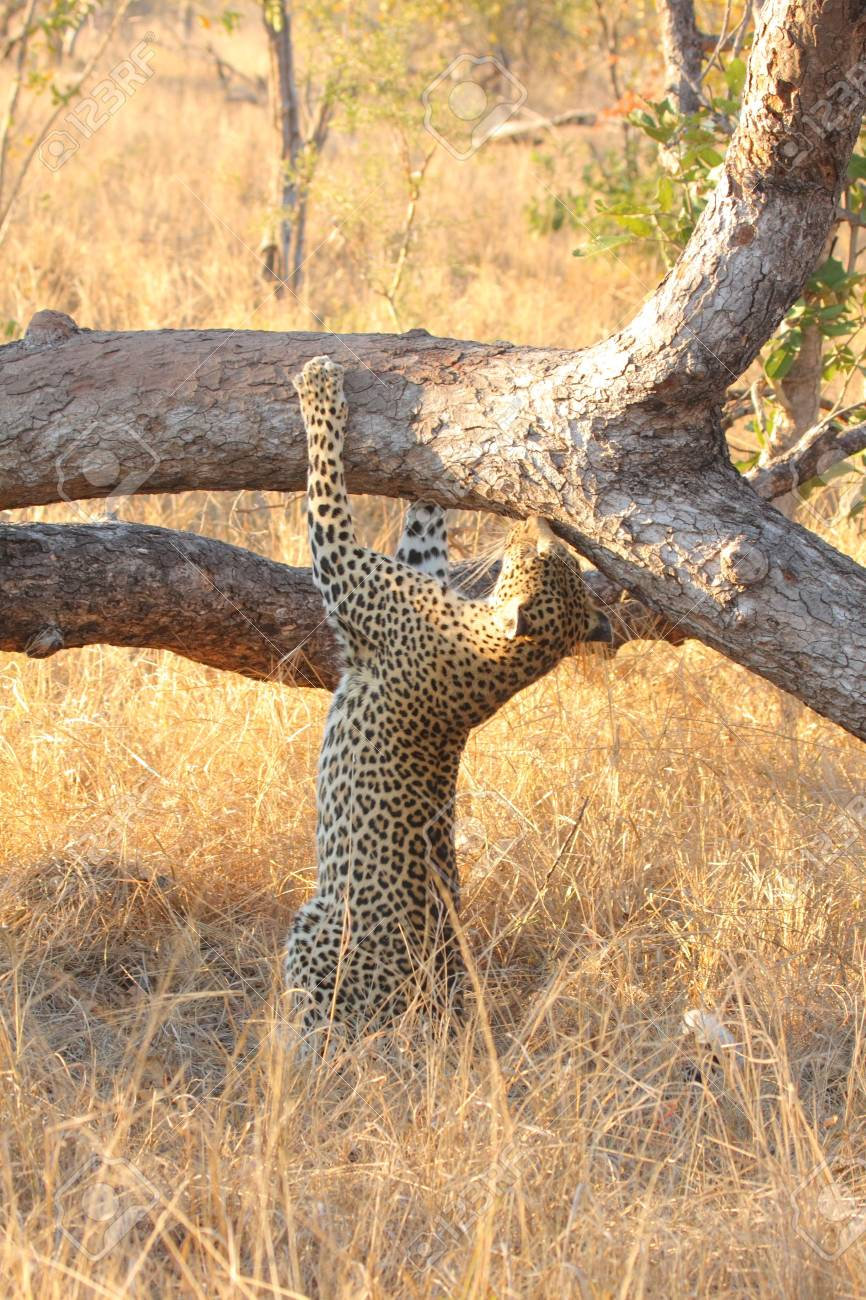 Leopard in a tree in the Sabi Sands Reserve Stock Photo - 3288756