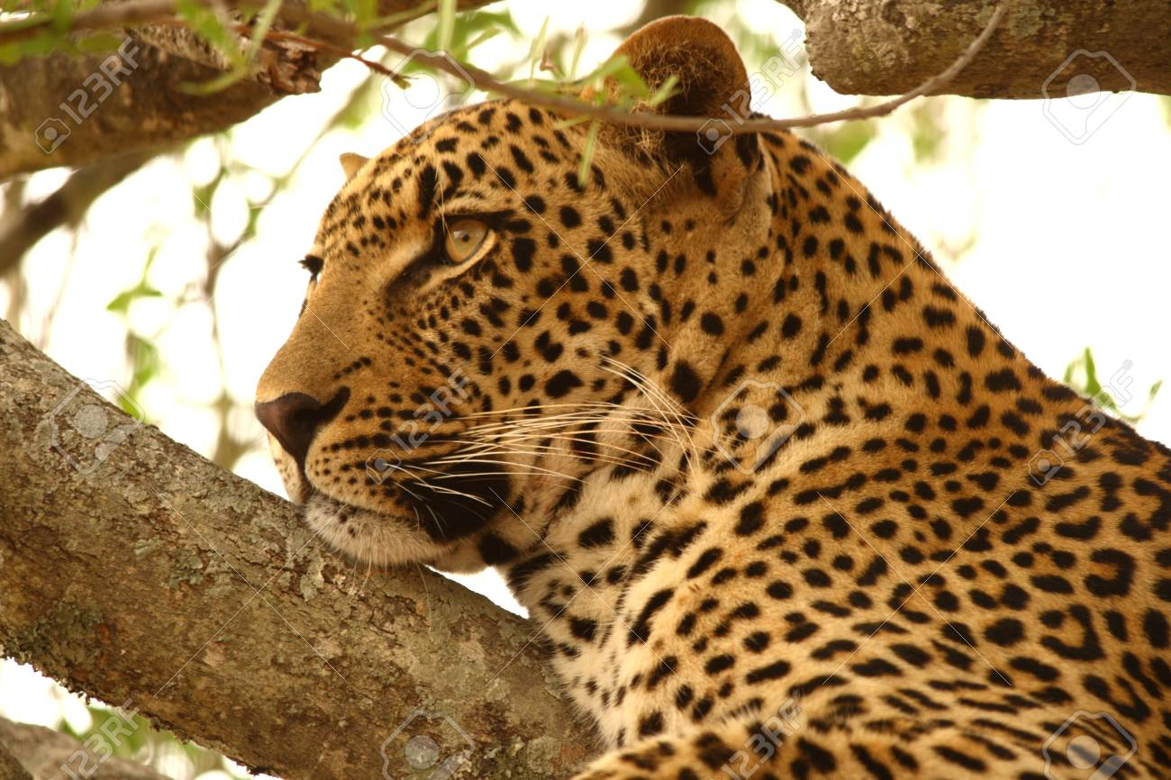 Leopard in a tree in the Sabi Sands Reserve Stock Photo - 3288490