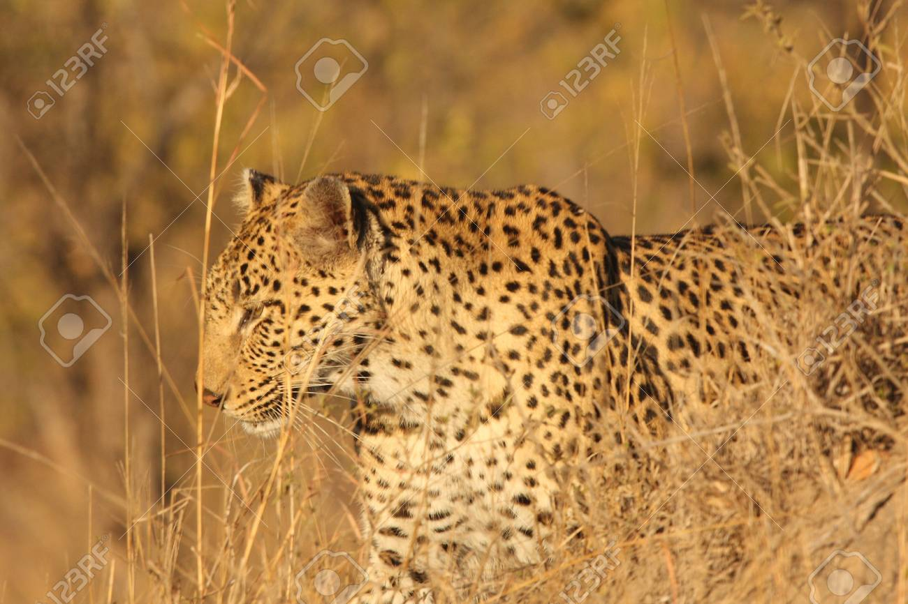 Leopard in the Sabi Sands Reserve Stock Photo - 3327924