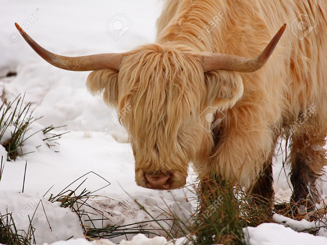 highland cow calf in the snow stock photo picture and royalty