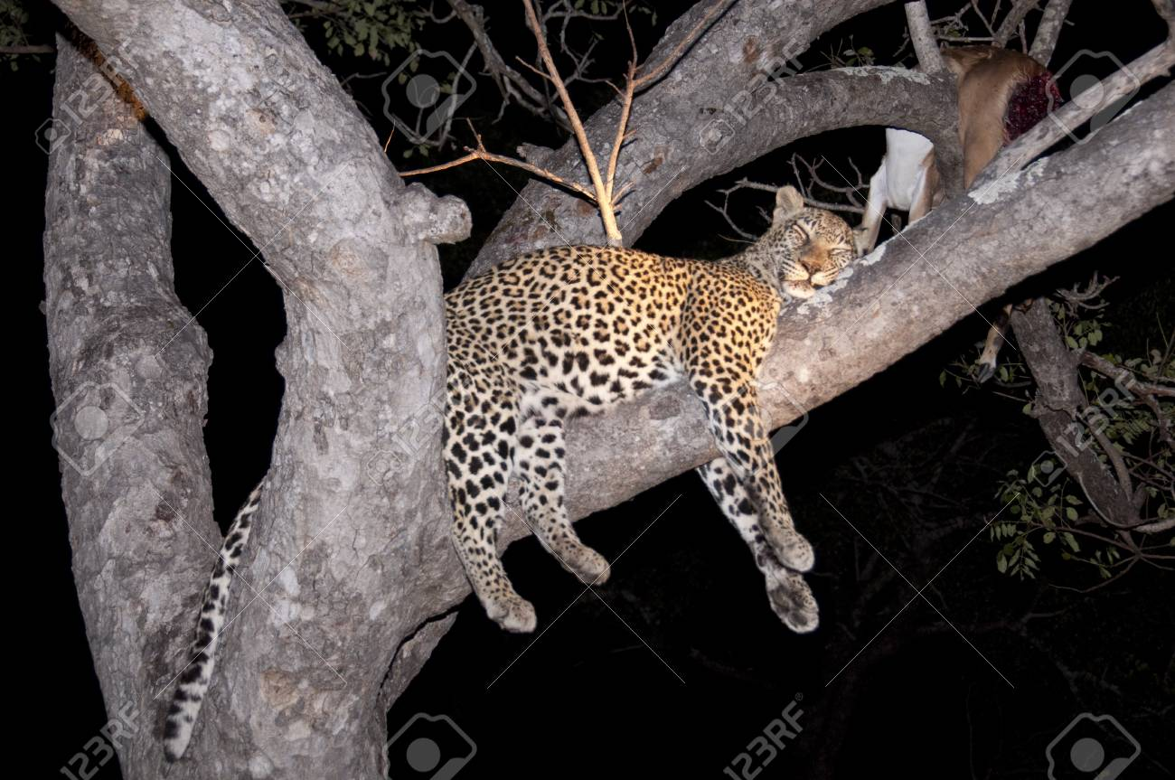 Leopard in Sabi Sands Game Reserve, South Africa Stock Photo - 7545026