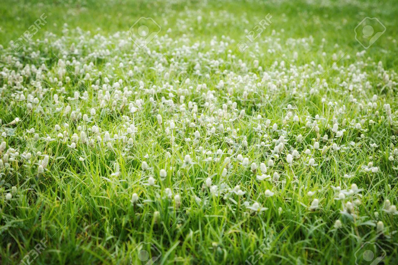 White Gomphrena Weed Flowers In Lawn Background Of Gomphrena