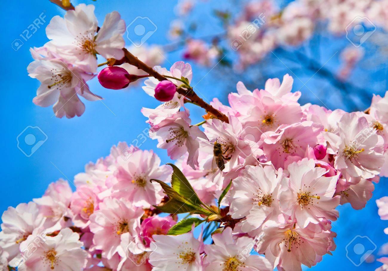 Sakura flowers blooming beautiful pink cherry blossom stock photo sakura flowers blooming beautiful pink cherry blossom stock photo 12980506 mightylinksfo
