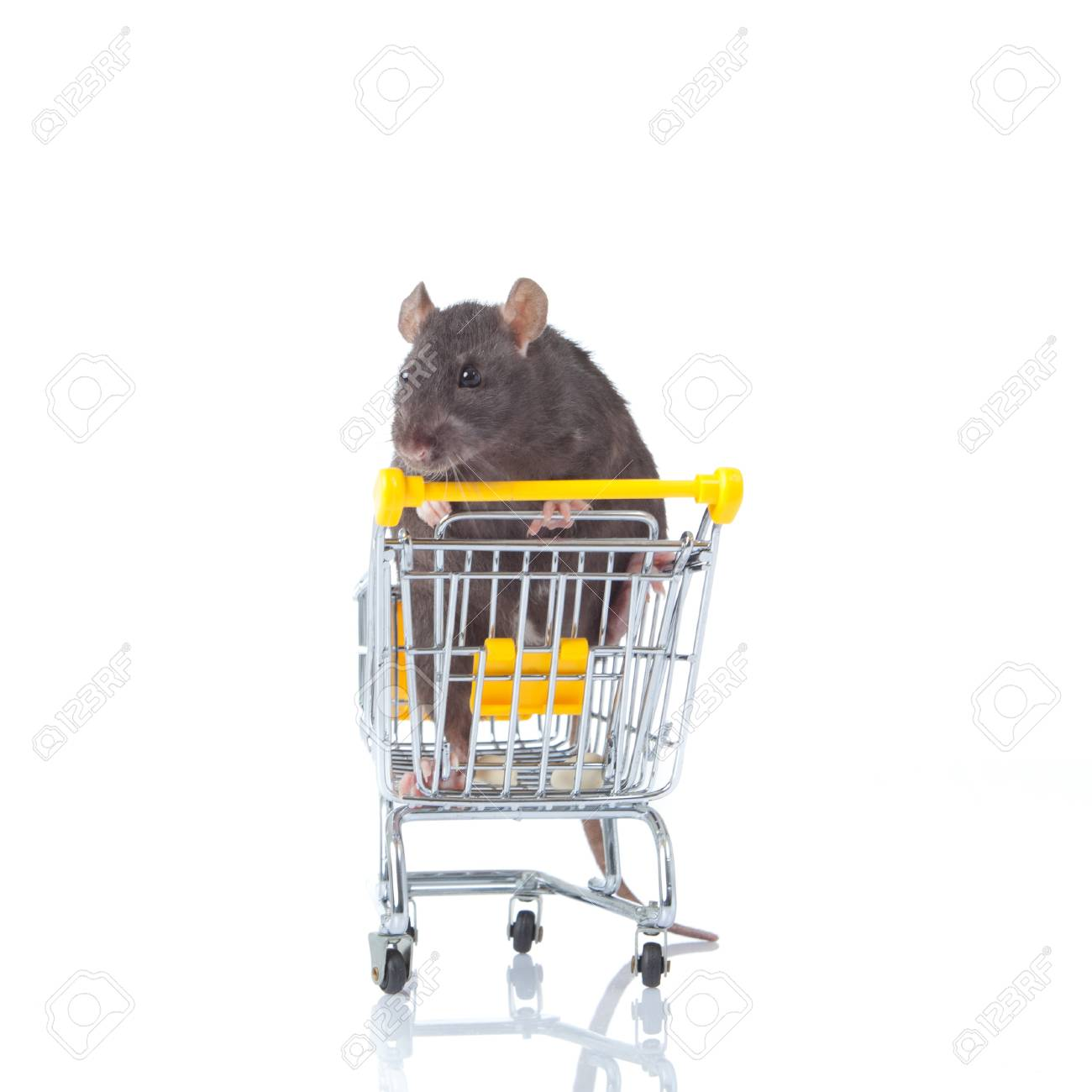 rat and the shopping cart  a rat with a basket Stock Photo - 13333893