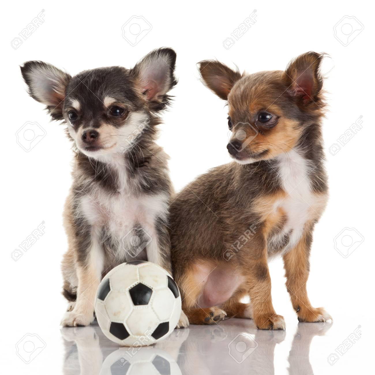 Two Chihuahua Puppies Stock Photo Picture And Royalty Free Image