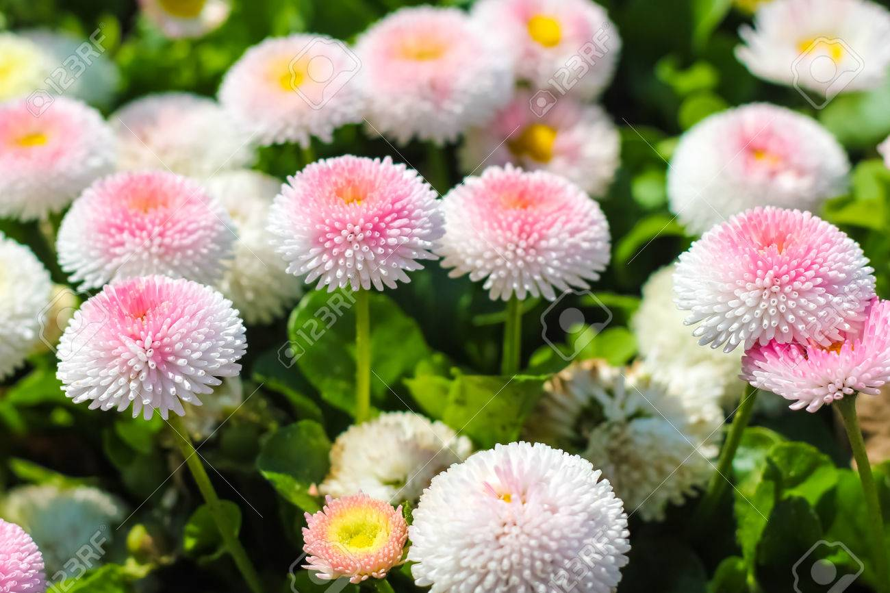 2cc184553a65 Closeup of daisy in garden . Bellis perennis . rob roy . flowers . Stock  Photo