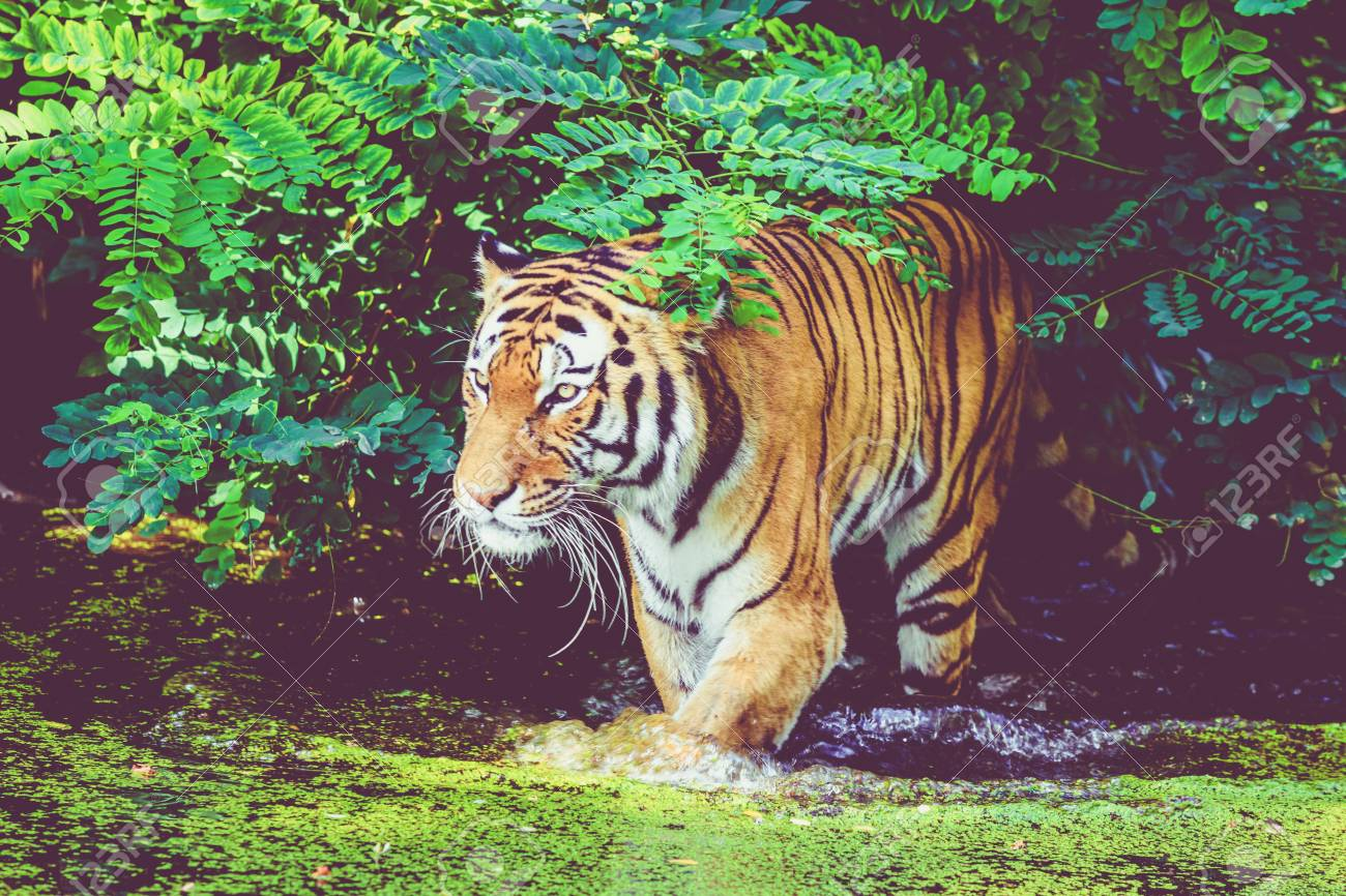 tiger walking in water  Tiger in forest