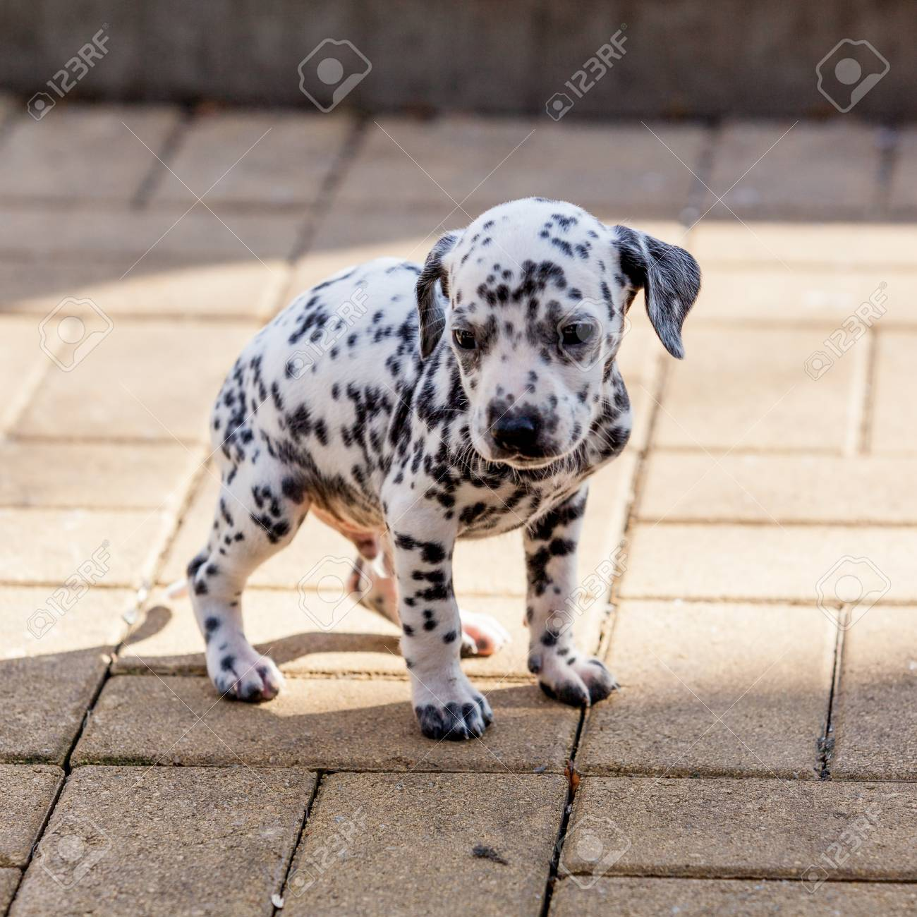 Dalmatian Dog Dalmatian Puppy Stock Photo Picture And Royalty