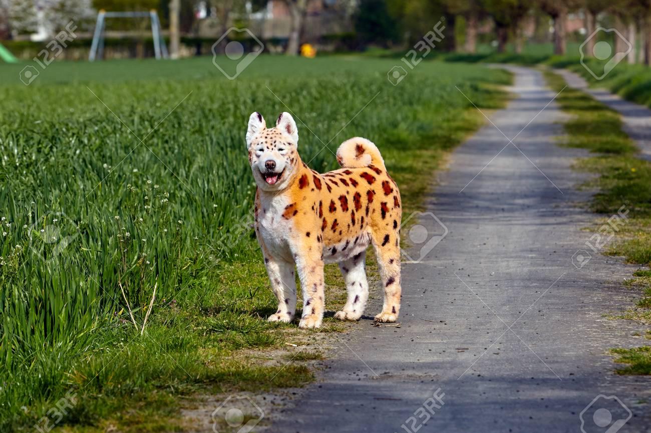Chien Peint chien samoyé. animal peint. chien peint banque d'images et photos