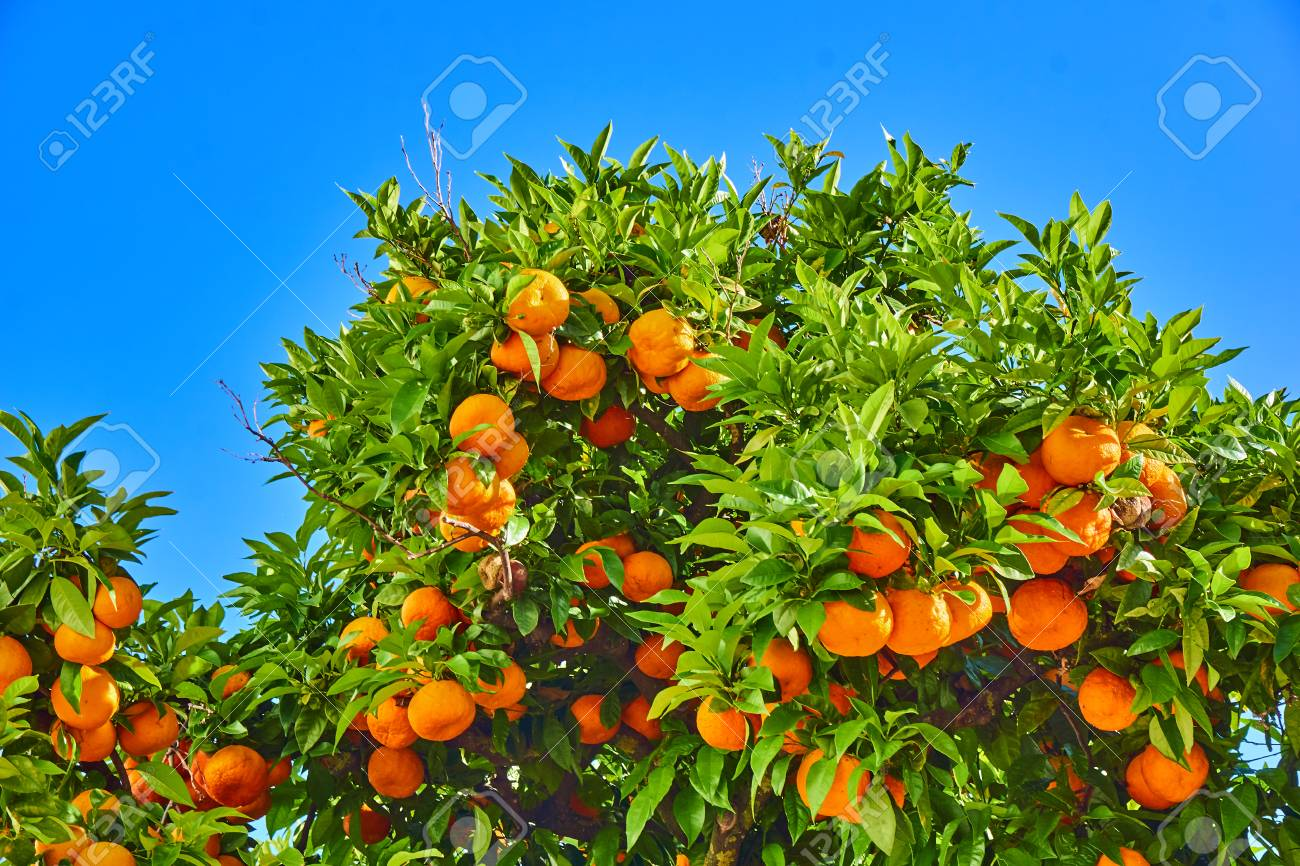 Clementines Ripening On Tree Against Blue Sky Tangerine Tree
