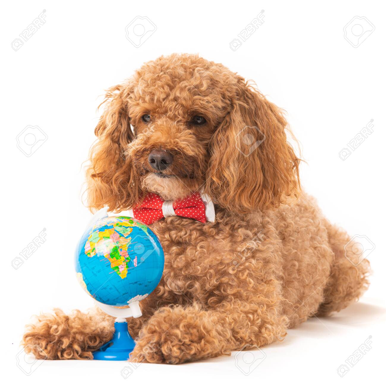 Red Poodle Puppy With A Toy Globe Isolated On White Stock Photo Picture And Royalty Free Image Image 149751245