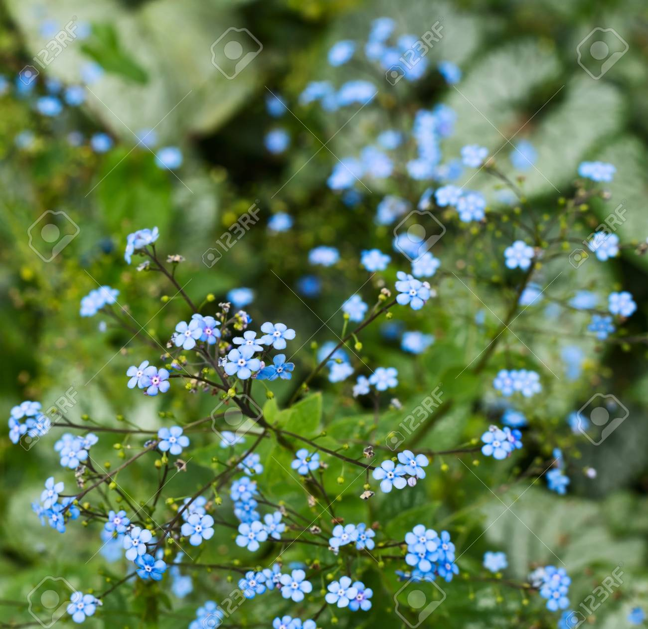 Floral Background Shot Of A Tiny Blue Flowers Stock Photo Picture And Royalty Free Image Image 20464385