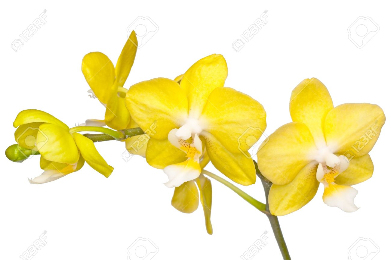 Yellow orchid stock photos royalty free yellow orchid images bunch of flowers beautiful yellow orchid isolated stock photo mightylinksfo