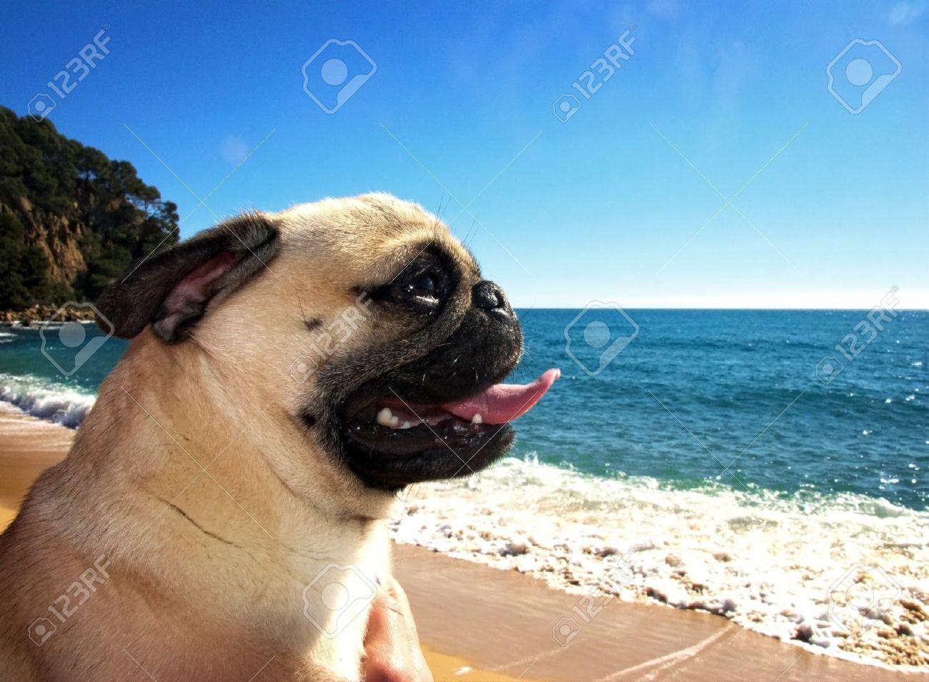 pug dog in a beach Stock Photo - 18410645
