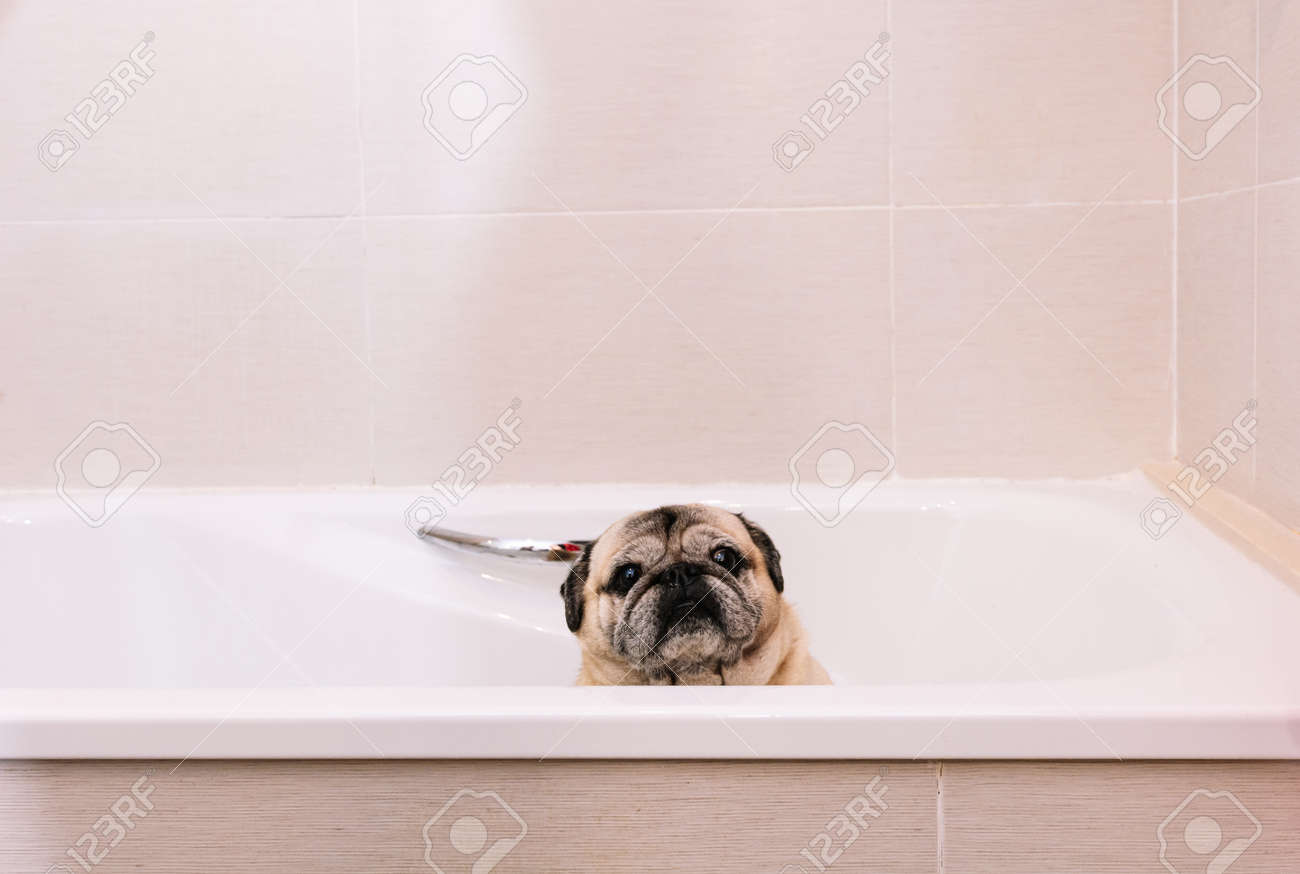 Adorable Pug dog in the bathtub at home getting ready for a comforting bath with hot water. Concept of pet care, coat care and dog hygiene. - 165273838