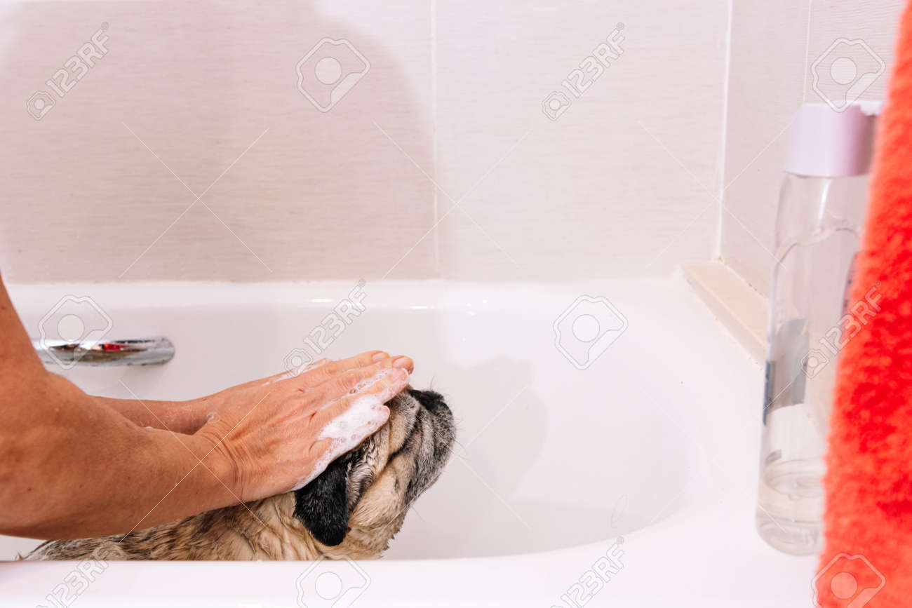 Adorable Pug dog in the bathtub at home getting ready for a comforting bath with hot water. Concept of pet care, coat care and dog hygiene. - 165273841