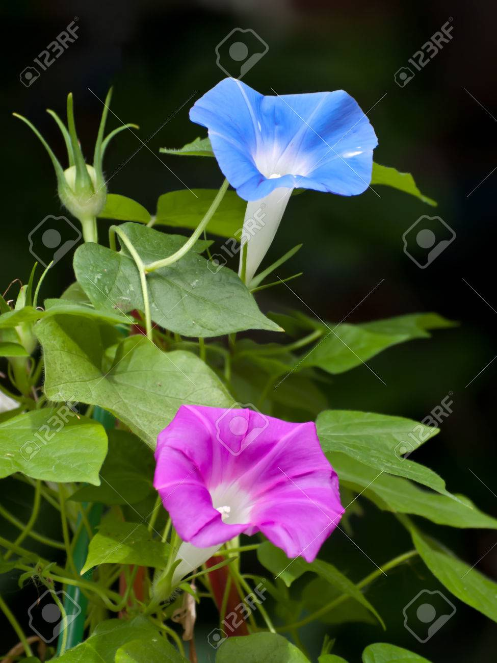 Beautiful Pink And Blue Flower Of Morning Gloryipomoea Sp Family