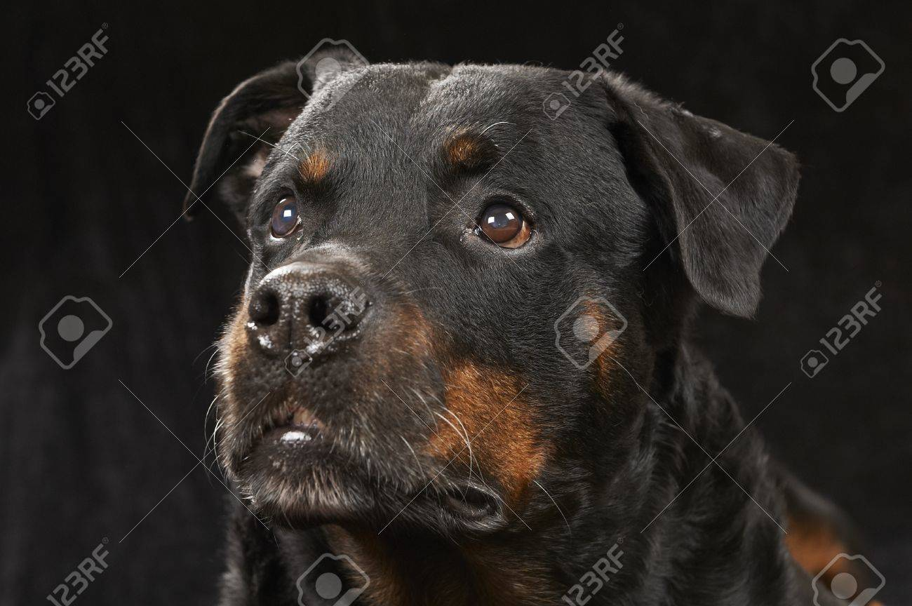 Pure bred rottweiler - on black background Stock Photo - 12725207