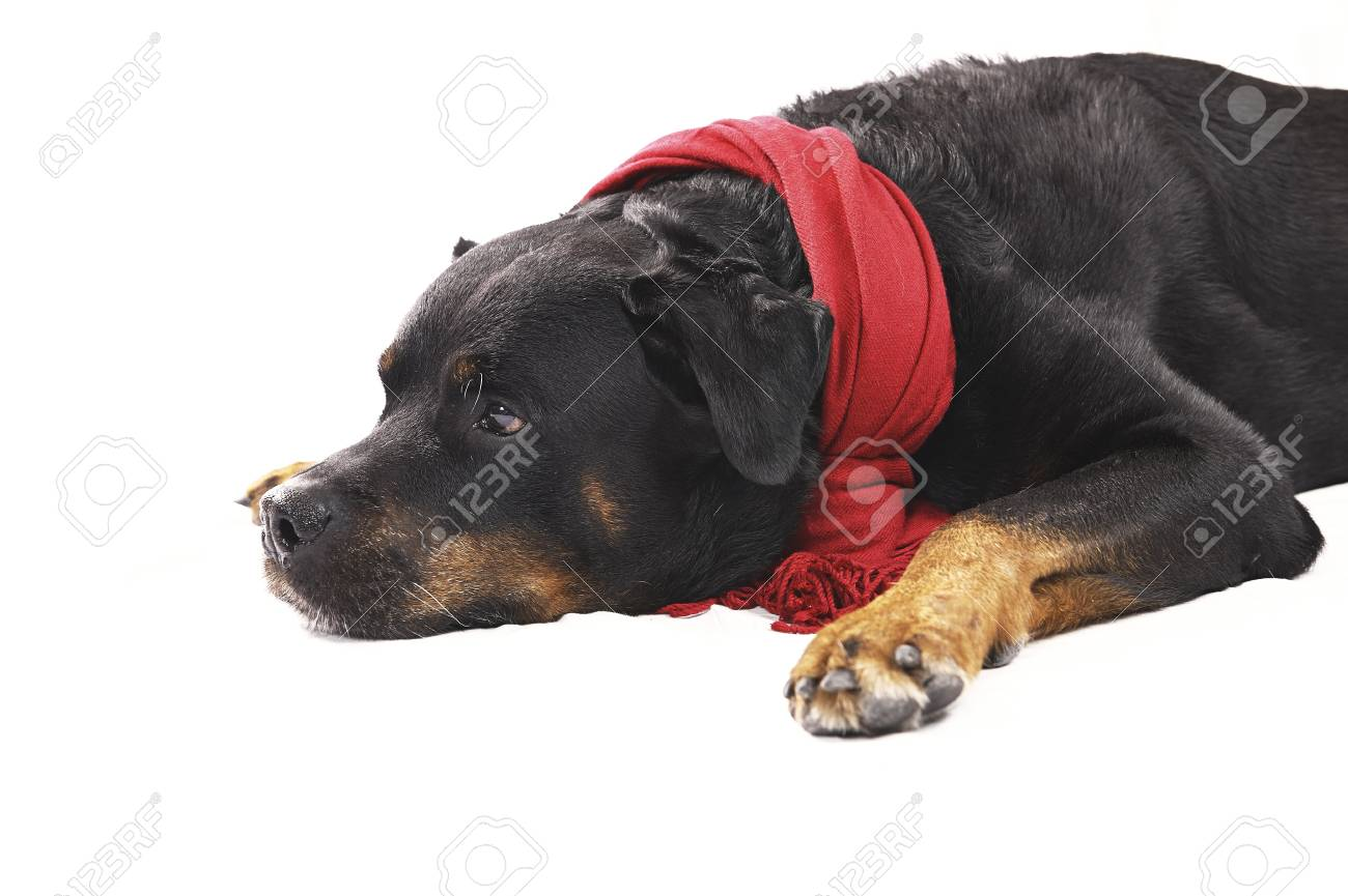 Pure bred rottweiler with christmas outfit isolated on white Stock Photo - 16417141