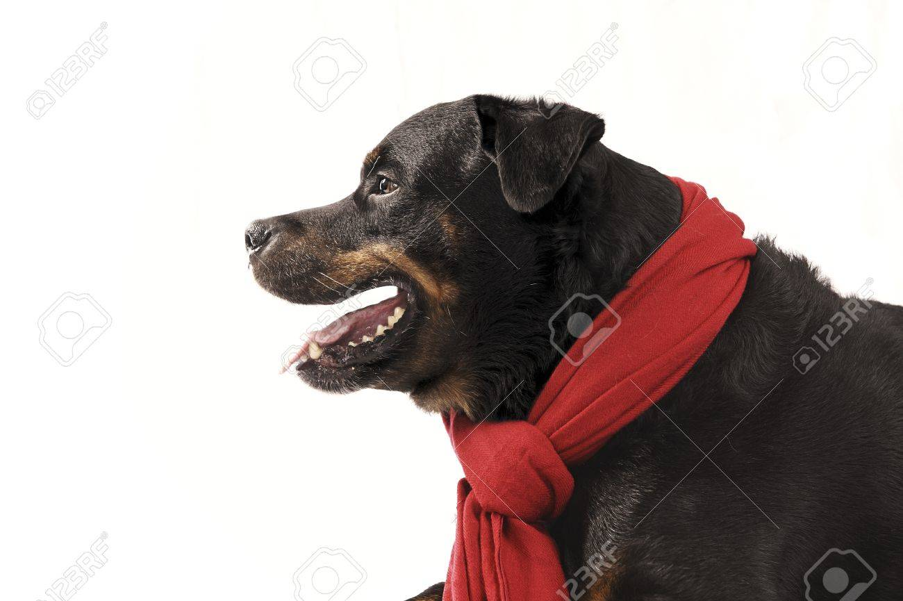 Pure bred rottweiler with christmas outfit isolated on white Stock Photo - 16417140