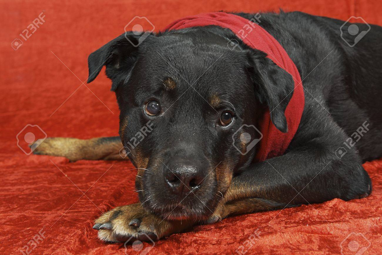 Pure bred rottweiler with christmas outfit on red background Stock Photo - 16417143