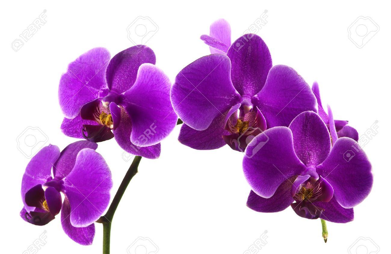 Foto de archivo , Madre hermosa de color púrpura vibrantes flores de las orquídeas de colores sobre fondo blanco