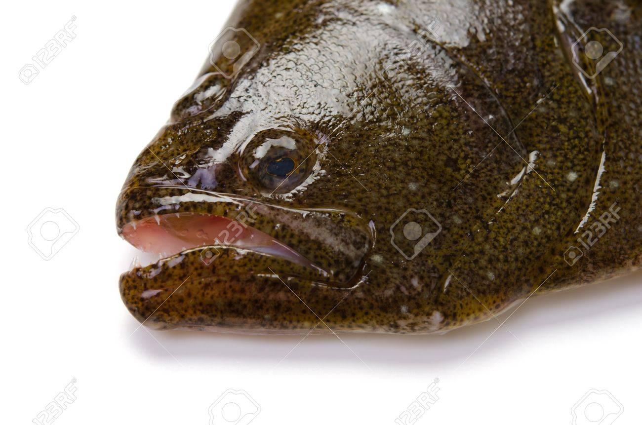 Olive Flounder Stock Photo Picture And Royalty Free Image Image 13278618 Odkryj flounder sushi engawa nigiri stockowych obrazów w hd i miliony innych beztantiemowych zdjęć stockowych, ilustracji i wektorów w kolekcji shutterstock. olive flounder