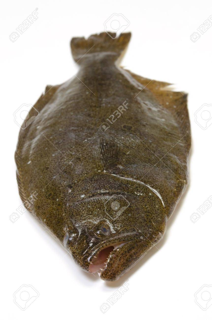 Olive Flounder Stock Photo Picture And Royalty Free Image Image 13279718 It is very similar in appearance to the dab, another saltwater fish, and is even confused with it by the player in the its catch quotes in wild world and new leaf. olive flounder