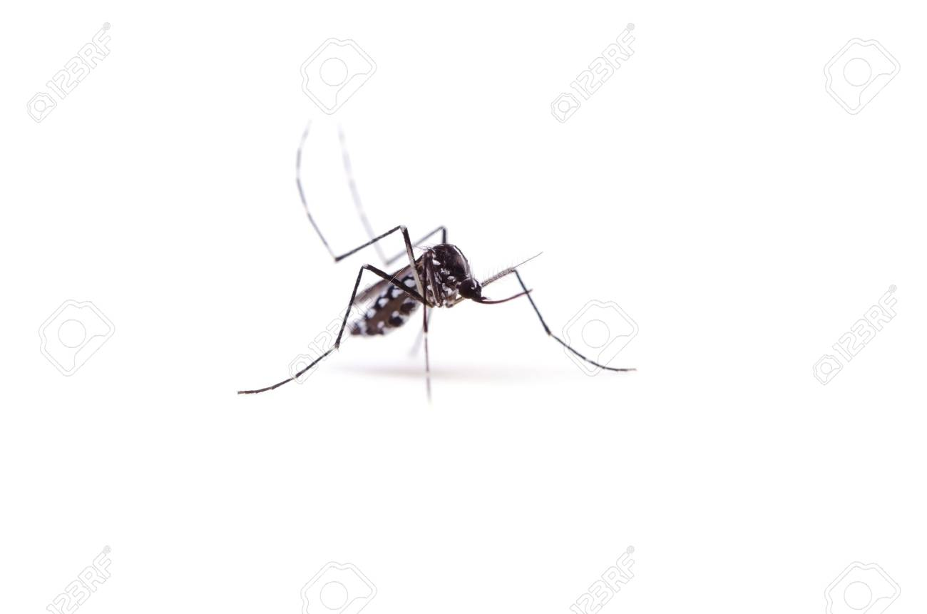 tiger mosquito Stock Photo - 14438439