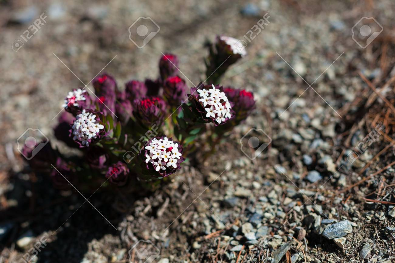 Closeup Photo Mountains Flowers Himalayas.Beautiful End Summer Season Background.Horizontal.No body Image Stock Photo - 63727105