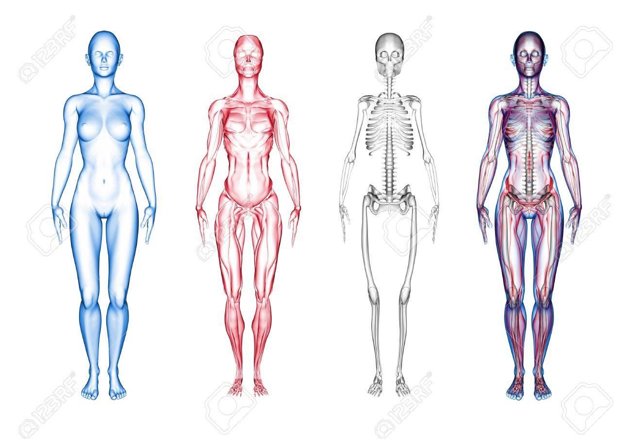 Super High Resolution 3D Render Of Female Anatomy. Three Part ...