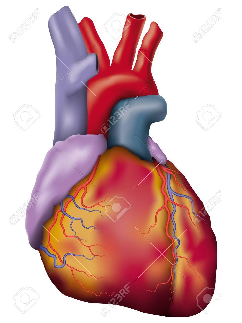 Human Heart Vector Image of Human Heart