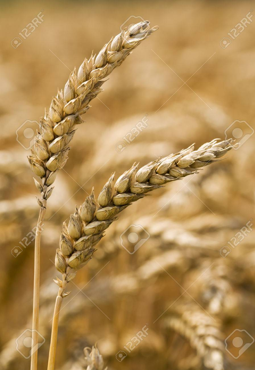 Two Wheat Ears In Focus In Front Of Blurred Golden Field