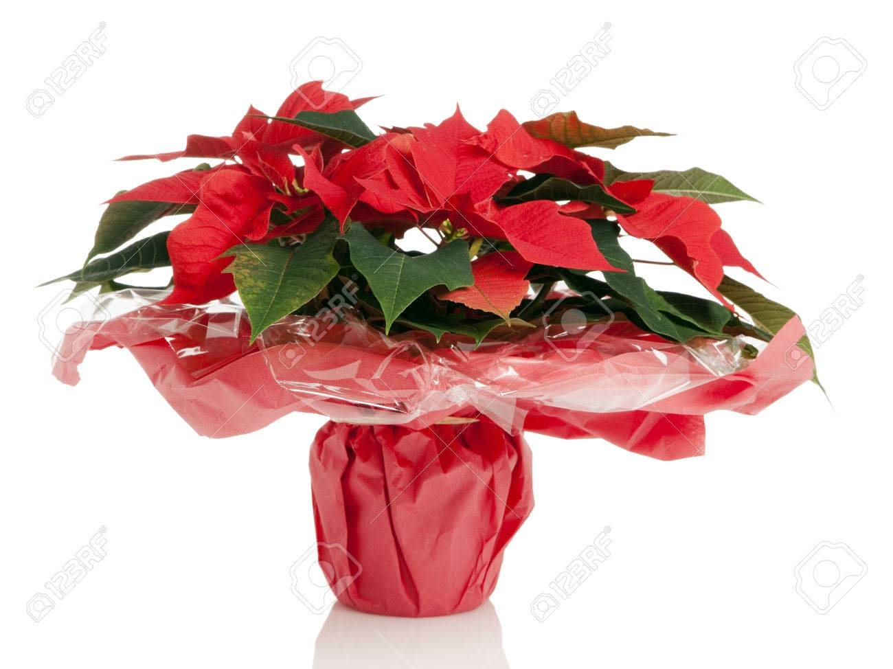 Poinsettia Plant Wrapped In Red Paper And Foil Isolated On White