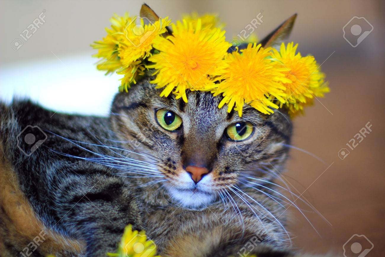 Cat Wearing Dandelion Flower Crown Stock Photo Picture And Royalty